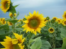 Sunflowers in a cloudy day stock photos