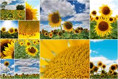 Sunflowers collage Royalty Free Stock Images
