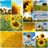 Sunflowers collage Stock Images