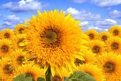Sunflowers. A collage Royalty Free Stock Photo