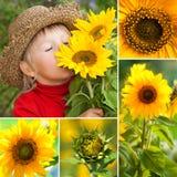 Sunflowers collage Stock Photos