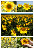 Sunflowers collage Stock Photography