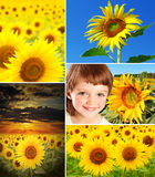 Sunflowers collection royalty free stock images