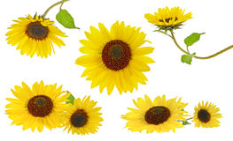 Sunflowers collection Royalty Free Stock Image