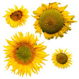 Sunflowers collection Stock Photos