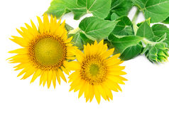 Sunflowers collection Royalty Free Stock Photography