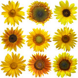 Sunflowers collection Stock Image