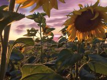Sunflowers with a colorful sky royalty free stock image