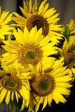 Sunflowers composition Royalty Free Stock Image