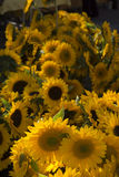 Sunflowers. Copley Square market Boston Massachusetts Stock Images