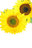Sunflowers with copyspace Stock Image