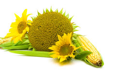 Sunflowers and corn close up on a white background Royalty Free Stock Photos