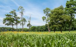 Sunflowers in Cornfield royalty free stock image