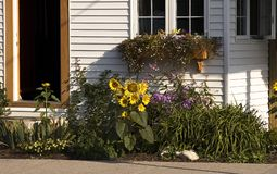 Sunflowers and cottage. Sunflowers in front of cottage in summer Stock Photos