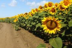 Sunflowers Stock Photography