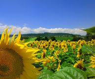Sunflowers and Country Scene Royalty Free Stock Photos