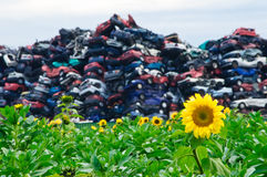 Sunflowers and Crushed Cars stock image