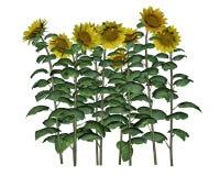 Sunflowers - 3D render Stock Photos