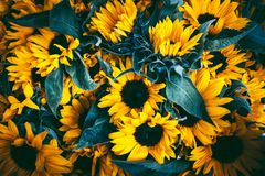 Sunflowers with dark leaves background. Stock Photos