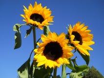 Sunflowers. On deep blue sky royalty free stock photos