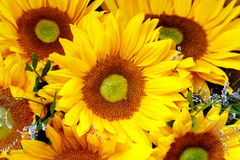 Sunflowers in detail as a background Stock Images