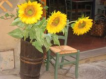 Sunflowers displayed outside a store. A picture of sunflowers next to a chaire displayed outside a store taken at a daytrip during a vacation in Toscane, Italy Stock Photos