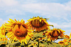 Sunflowers of droop at sky. Sunflowers of droop with the sky Royalty Free Stock Photo