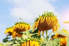 Sunflowers droop at sky. Sunflowers droop with a daytime at sky Stock Photography