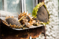 Sunflowers, dry head lying on an old windowsill Royalty Free Stock Photography