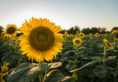 Sunflowers in early evening as sun sets Royalty Free Stock Image
