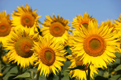Sunflowers on an early morning in a field Stock Photo
