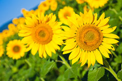 Sunflowers in Early Morning Light royalty free stock image
