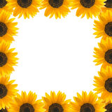 Sunflowers on the edge of a square Stock Image
