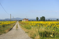 Sunflowers in Emilia-Romagna Royalty Free Stock Photos