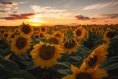 Sunflower field during sunset royalty free stock image