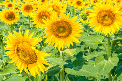 Sunflowers in the evening sun. Closeup Royalty Free Stock Photo