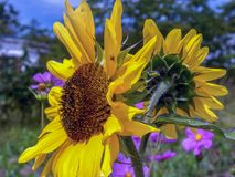 Sunflowers facing different directions on a field royalty free stock images