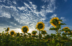 Sunflowers facing the sun Royalty Free Stock Image