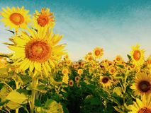 Sunflowers farm. Blossom beautiful flowers Stock Photos
