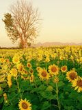 Sunflowers farm. Blossom beautiful flowers Royalty Free Stock Photo