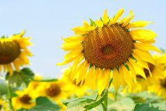 Sunflowers farm with the blue sky. Sunflowers field in the farm Royalty Free Stock Photo