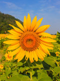 Sunflowers farm. At saraburi thailand Royalty Free Stock Photo
