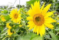 Sunflowers in farm at Suan phueng Stock Images