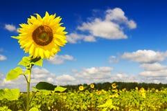 Sunflowers on a farmer field Stock Photos