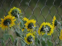 Sunflowers fence in the Altai stock photos