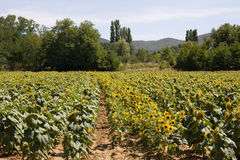 Sunflowers on field Royalty Free Stock Photo
