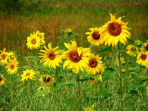Sunflowers field. In late summer time Stock Images
