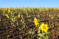 Sunflowers in field royalty free stock images