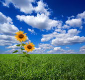 Sunflowers in field. Two sunflowers blooming in grassy field under blue sky and cloudscape Stock Photography