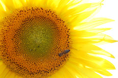 Sunflowers field. Flowering sunflower which a bee sat down on stock photo